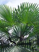 2018 04:垂葉棕櫚07 信義鄉同富村同和巷台大實驗林和社自然教育園區.JPG