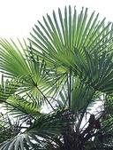 2018 04:垂葉棕櫚06 信義鄉同富村同和巷台大實驗林和社自然教育園區.JPG