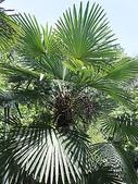 2018 04:垂葉棕櫚01 信義鄉同富村同和巷台大實驗林和社自然教育園區.JPG