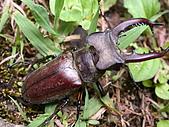 明池/淑娟:高砂深山鍬形蟲.JPG
