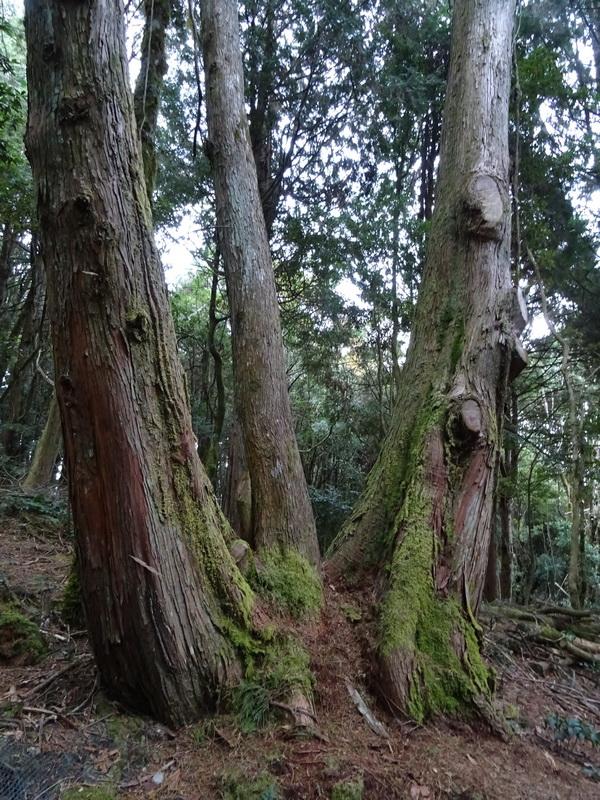 觀霧巨木步道:DSC02461.JPG