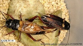 蟋蟀:001-20200830.jpg