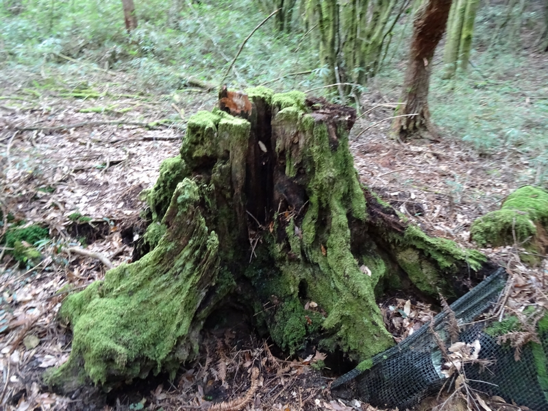 觀霧巨木步道:DSC02368.JPG