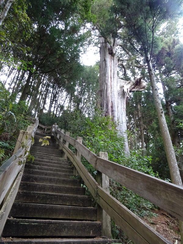 觀霧巨木步道:DSC02455.JPG