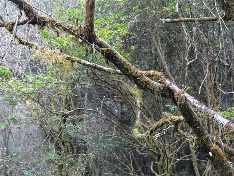 觀霧巨木步道:DSC02476.JPG