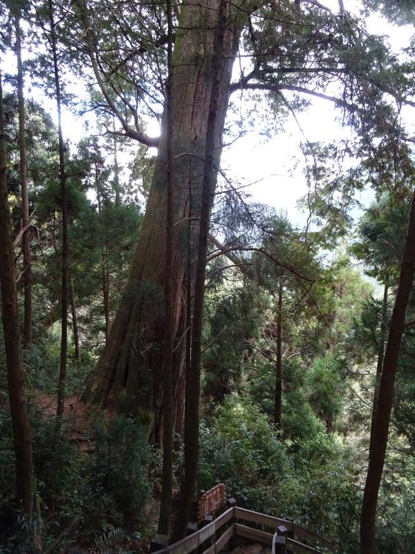 觀霧巨木步道:4-4.JPG