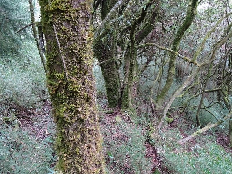 觀霧巨木步道:DSC02358.JPG