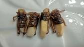 蟋蟀:056-20200830.jpg