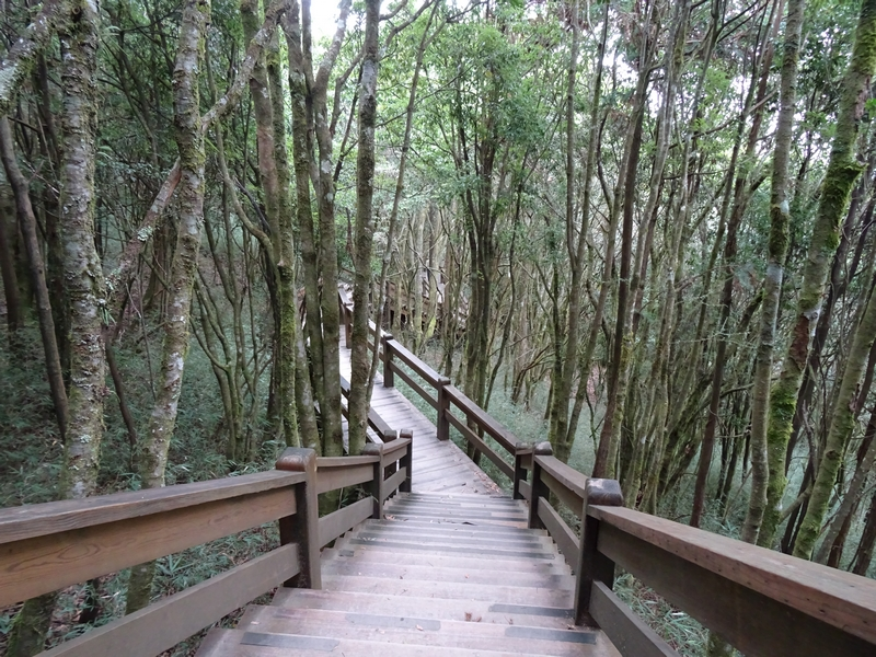 觀霧巨木步道:DSC02364.JPG