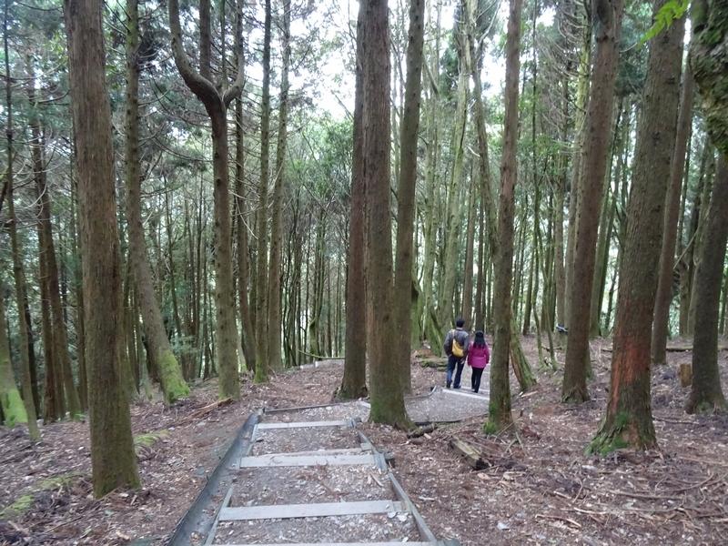 觀霧巨木步道:DSC02393.JPG