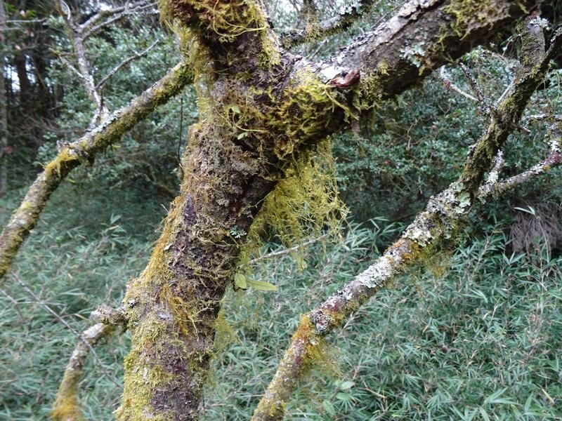 觀霧巨木步道:DSC02363.JPG