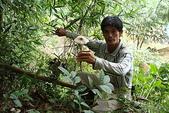 雞肉絲菇---共生菇:DSC02579