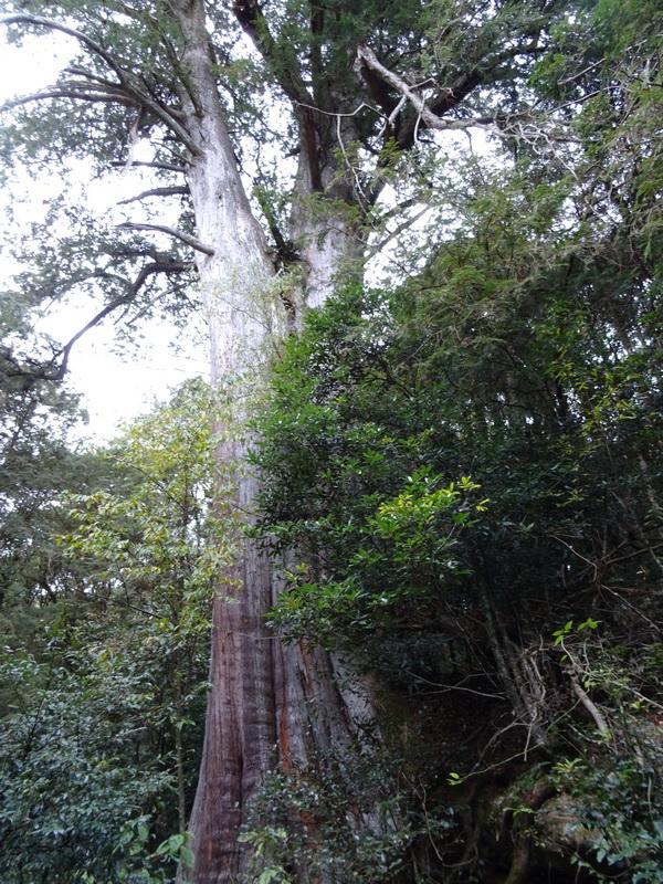 觀霧巨木步道:5-3.JPG