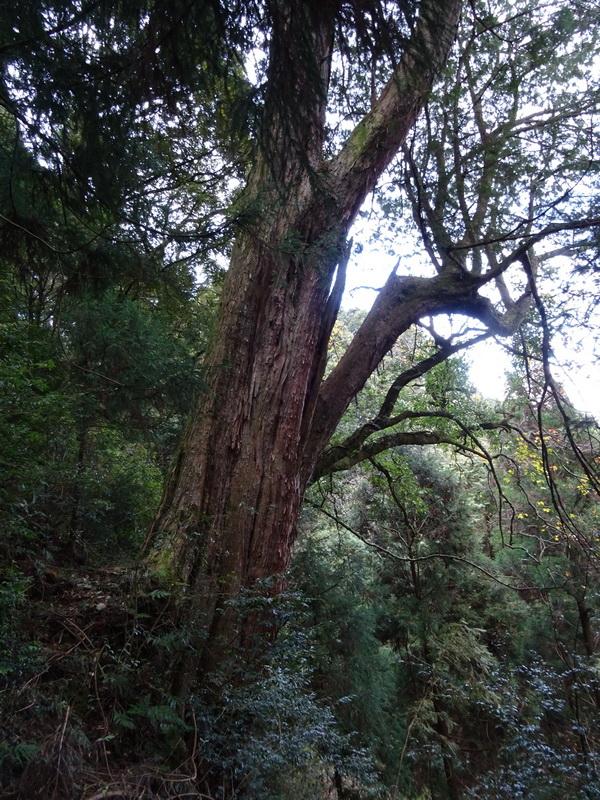 觀霧巨木步道:3-3.JPG