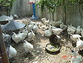 最高貴的烏骨雞:DSC00958