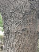 20200306苦楝樹:IMG_20200306_125139.jpg