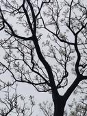 20200306苦楝樹:IMG_20200306_125830.jpg