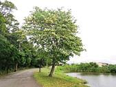 20200430加羅林魚木:IMG_20200422_160253.jpg
