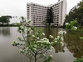 20200331中央大學流蘇:IMG_20200331_152911.jpg