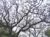 20200306苦楝樹:IMG_20200306_130149.jpg