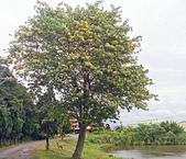 20200430加羅林魚木:IMG_20200422_160307.jpg