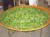 園丁計畫之一:採茶製茶品茶:DSCN1654.JPG