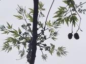 20200306苦楝樹:IMG_20200306_125320.jpg