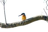 飛羽攝影:翠鳥