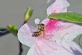 生態攝影:杜鵑 蜜蜂