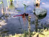 生態攝影:紫紅蜻蜓