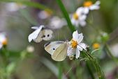 生態攝影:紋白蝶