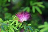 生態攝影:粉撲花