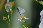 生態攝影:台灣琉璃小灰蝶