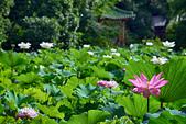 荷花之美:植物園荷花池