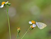 生態攝影:咸豐草