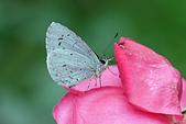 生態攝影:玫瑰 台灣琉璃小灰蝶