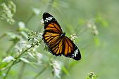 生態攝影:黑脈樺斑蝶
