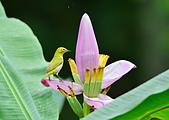 飛羽攝影:綠繡眼、紫夢幻蕉