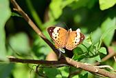 生態攝影:黃襟蛺蝶