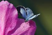 生態攝影:杜鵑 台灣琉璃小灰蝶