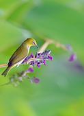 飛羽攝影:綠繡眼、水竹芋