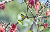飛羽攝影:黃山雀