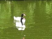 Cantebury& Leeds Castle:黑頸白鵝