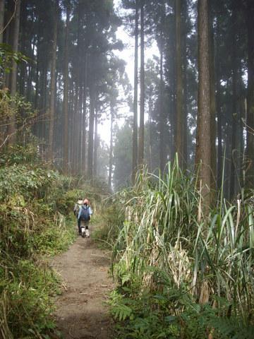 075~鵝公髻山至山上人家順遊清泉風景區:人造杉木林