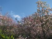 淡水楓樹湖步道木蘭花2018.03.01:IMG_0900.JPG