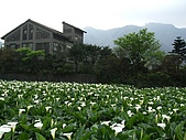 竹子湖海芋田:DSCF3255.jpg