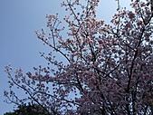天元宮吉野櫻:DSCF3002.jpg