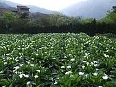 竹子湖海芋田:DSCF3233.jpg