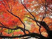 2008年秋日本賞楓紅葉之旅:東福寺紅葉紅火繽紛