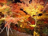 2008年秋日本賞楓紅葉之旅:炫目燈光下的夜楓,給人一種淒美的感覺